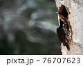 巣穴をリフォーム中のクマゲラのカップル 76707623