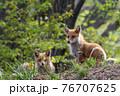 森でくつろぐキタキツネの夫婦 76707625
