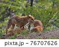 森で遊ぶキタキツネの親子 76707626