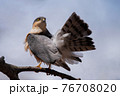 木の枝で羽繕いするハイタカ 76708020
