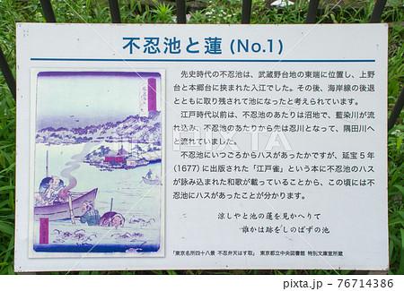 上野 不忍池 蓮の季節 76714386