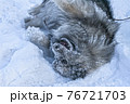 Keeshond dog plays in the snow and rejoices lying on its back 76721703