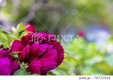 花の御寺石光寺に咲く満開のぼたん 76723028