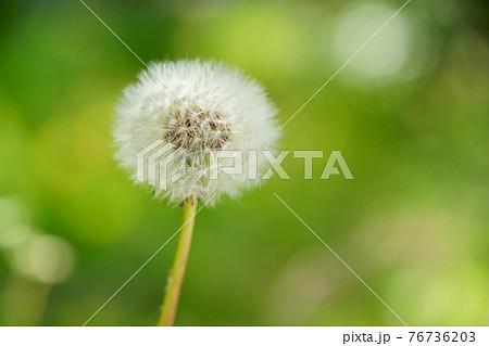 暖かな春・野のタンポポの綿毛4 76736203