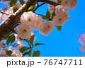 青空に映える八重桜のアップ 76747711