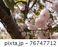 昼下がりの太陽に照らされた八重桜 76747712