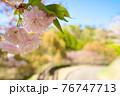 晴れた昼下がりの道と八重桜 76747713