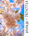 青空を背景にした八重桜のアップ 76747714