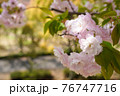 八重桜のアップと背景の道路 76747716