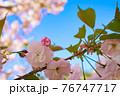 背景の青空に映える八重桜 76747717