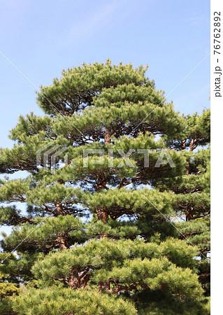 松の木 76762892