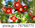 椿の花 76768775