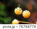 ミツマタの花 76768776