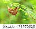 低木の細枝で脱皮したセミの抜け殻(アブラゼミ)※顔の位置が斜め前 76770625