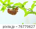 低木の細枝で脱皮したセミの抜け殻(アブラゼミ) 76770627