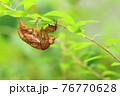 低木の細枝で脱皮したセミの抜け殻(アブラゼミ)※真横のアングルから全身 76770628