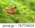 低木の細枝で脱皮したセミの抜け殻(アブラゼミ)※真横のアングルから全身 76770629