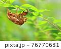 低木の細枝で脱皮したセミの抜け殻(アブラゼミ)※真横のアングルから全身 76770631