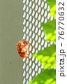 金属フェンス上で脱皮したセミの抜け殻(アブラゼミ) 76770632
