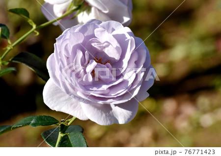 調布市深大寺元町の植物園に咲く淡い青紫色のバラ(モダンローズ ブルー・バユー)の花 76771423