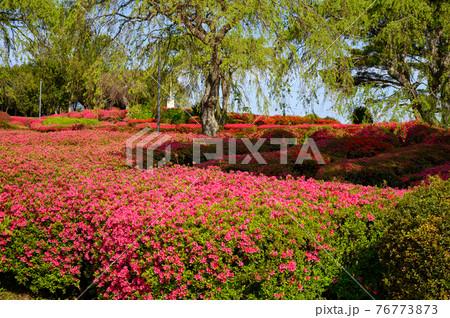 ツツジの咲く小室山公園 76773873