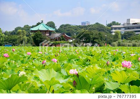 上野公園 不忍池 蓮の季節 76777395