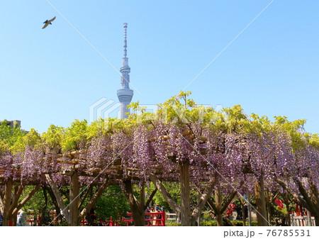 東京都江東区亀戸にある亀戸天神社の藤まつり スカイツリーと鳥 76785531