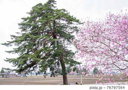 春を迎えた「四ツ橋の松」秋田県大仙市 76797564