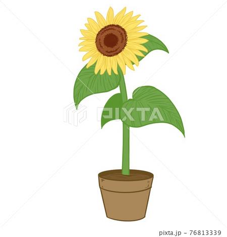 ひまわりの鉢植え01 76813339