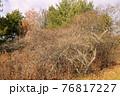 冬の公園で見つけた複雑に絡み合う木の枝を撮影 76817227