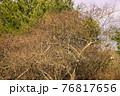 冬の公園で見つけた複雑に枝が絡み合う木と大きな松の木 76817656