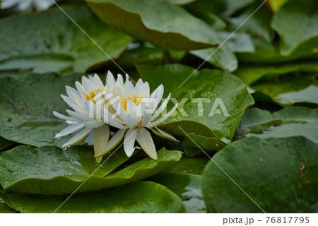 衆楽園の池に仲良く咲く2輪のスイレンの花 岡山県津山市 76817795