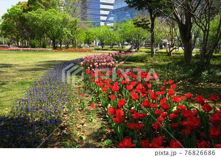 4月 江東379チューリップ・ユリ科・流れの花壇・シンボルブロムナード公園 76826686