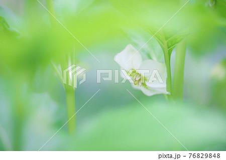 優しいボケに包まれて咲いている白く可愛いホオズキの花 76829848
