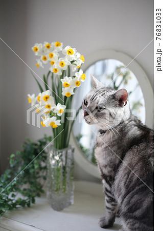 鏡の前で寄り添うように並ぶスイセンの花とアメリカンショートヘアの猫 76831033