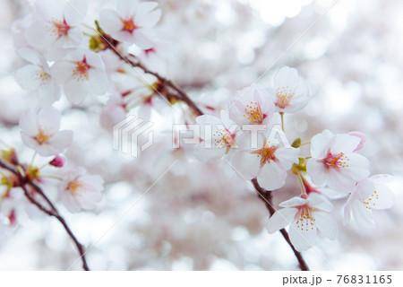 (山梨県)春の河口湖畔に咲く満開の桜 76831165