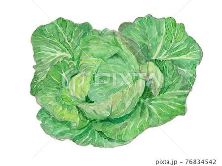 Brassica oleracea キャベツ 76834542
