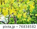 National Flower of Thailand, Golden Shower 76838582