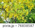 Golden Shower at Santi Chai Prakan Public Park 76838587
