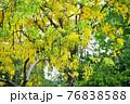 タイ王国バンコク都サンティチャイプラカーン公園のゴールデンシャワー(タイの国花) 76838588