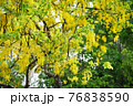 タイ国花ゴールデンシャワー(Golden Shower in Bangkok, Thailand) 76838590