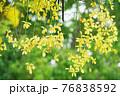 タイ国花ゴールデンシャワー(Golden Shower in Bangkok, Thailand) 76838592