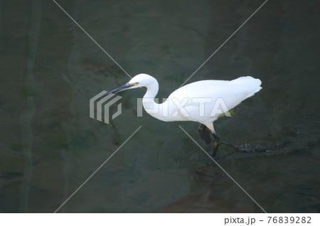 2)見つけた小魚を走って捕食するダイサギ 76839282