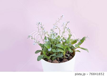小さくて青い花わすれな草とピンク色の背景素材 76841652