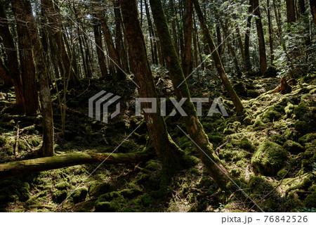 (山梨県)青木ヶ原樹海の樹林と木漏れ日 76842526