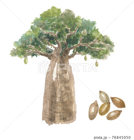 バオバブの木と実 76845050