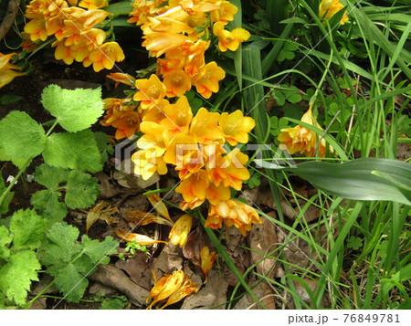 フリージアの黄色い花 76849781