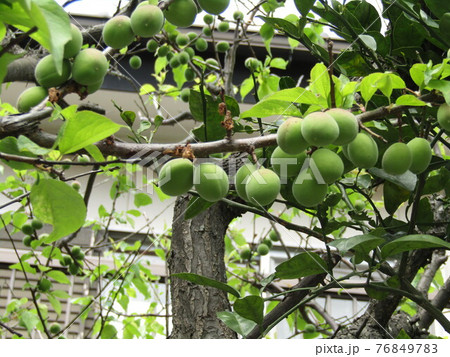 我が家の梅の実がだんだん大きくなりました 76849783