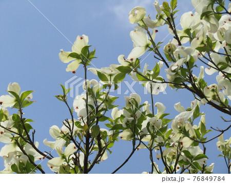 ハナミズキの白い花 76849784