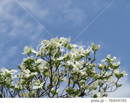 ハナミズキの白い花 76849785